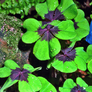 Oxalis tetraphylla &#8216;Iron Cross&#8217; 